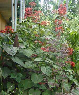 Clerodendrum speciosissimum  (Glorybower or Java Glorybower)
