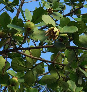 clusia rosea, autograph tree