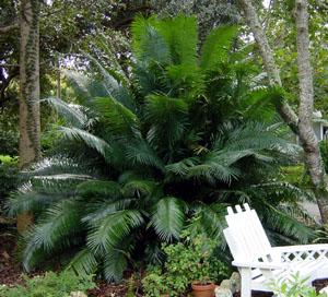 cycas circinalis, queen sago palm
