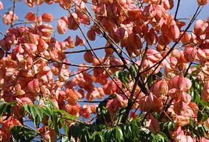 Golden Rain Tree, Koelreuteria paniculata, seed pods
