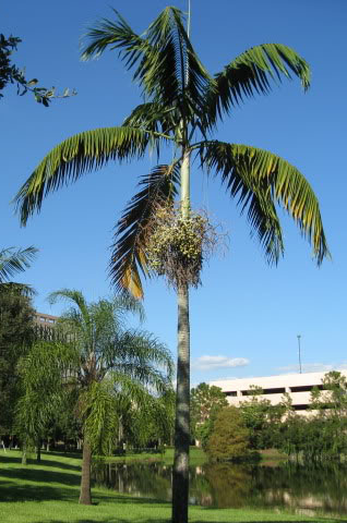 Veitchia joannis,  Joannis Palm